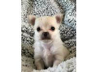 KC Reg White (rare) and Chocolate long hair Male Chihuahua Puppies for Sale