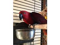 Lost Eclectus Parrot
