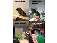 green cheek, blue cheeked, cobolt blue pearly, fiery shouldered parrot inc cage and Del option