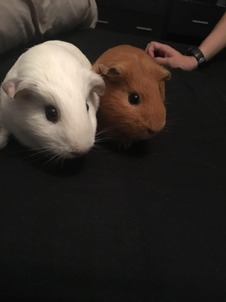 Guinea pigs, cage and run