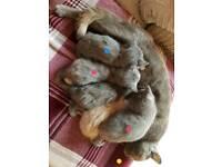Grey kittens one boy left.
