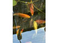 Koi fish goldfish