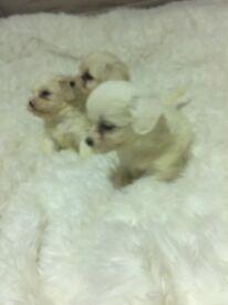 Sichuan puppies 4 boys 1 girl