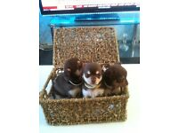 cihauhua puppy chocolate color