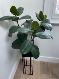 Large Rubber Plant with metal plant stand