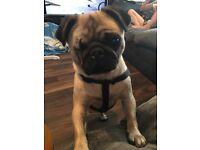 Pug female kc registered