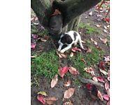 2 beautiful springer spaniel puppies