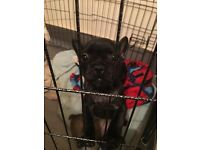 French bulldog puppies READY NOW, PRICE REDUCED