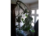 Swiss Cheese Plant (Monstera Deliciosa) Very Large 9ft - 10ft Tall