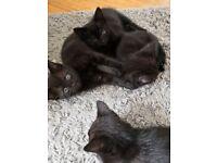 3 black kittens READY NOW!
