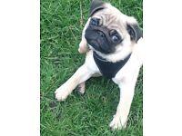 Kc Pug Boy 3 months £1200