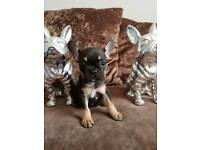 Frenchbulldog puppies