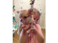 Long hair male chihuahua puppies