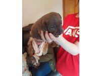 Bule staffy pups