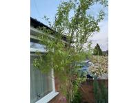 Salix tree