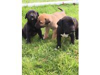 Rhodesian Ridgeback cross puppies