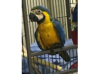 Baby blue and gold macaw