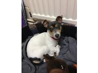Lost Jack Russell Dog Called Winnie Black & White Small Dog