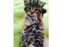 Kittens part bengal