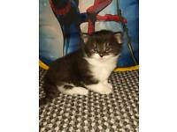 Kittens for sale 2