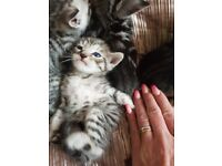 Bengal kittens stunning markings ready now