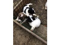Beautiful puppies cross with Lhasa apso and bichon frise