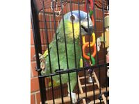 Orange winged amazon Parrot, 5 yrs Talks Clearly