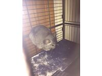 8 month old Chinchilla