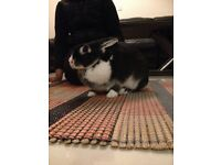 black colour female rabbit