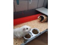 Looking to rehome two very cute guinipigs..under a year old and friendly little things