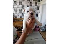 British bulldogs pups for sale