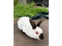 Female Himalayan Rabbit