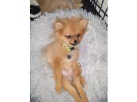 Extra small Pomeranian girl