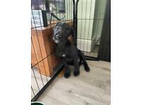 Bedlington Bull Grey Puppy
