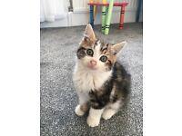 Gorgeous Girl Kitten £70