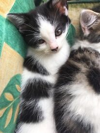 Eleven week old white and black patchy female kitten for sale.