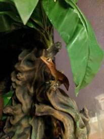 2 crested geckos + terrarium