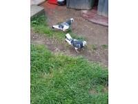 Birmingham Roller pigeon pair £20