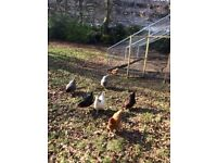 7 Chickens with Coop, Food, Bedding and Water Dispenser