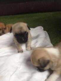 Chug pug x puppies full pug x chihuahua very lively healthy pups