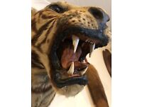 Taxidermy rare ward and co tigers tiger head leopard bear stuffed mounted