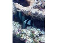 2 x 3 stripe damselfish