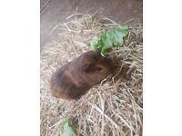 Baby female guinea pigs