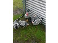 Wyndotts chickens for sale