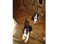 Collie pups good pedegree ready to go