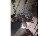 1 staffy puppy left