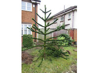 "approx 7'6"" high Monkey puzzle tree for sale, buyer to remove"