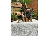 KC Registered French Bulldog Puppies (Parents both health checked and clear)