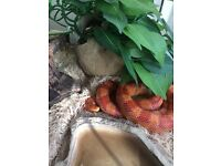 2 year old corn snake for sale , beautiful colour and lovely temperament with adults /children