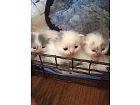 Pedigree Persian/British Longhair kittens
